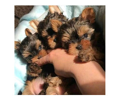 Teacup yorkshire terrier puppies available now